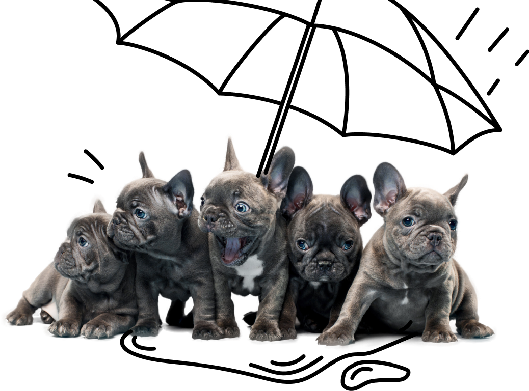 An adorable bunch of French Bulldog puppies gathered under an umbrella