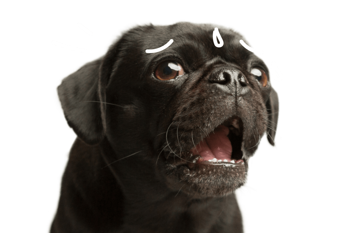 A panicked pug with sweat dripping down his forehead.