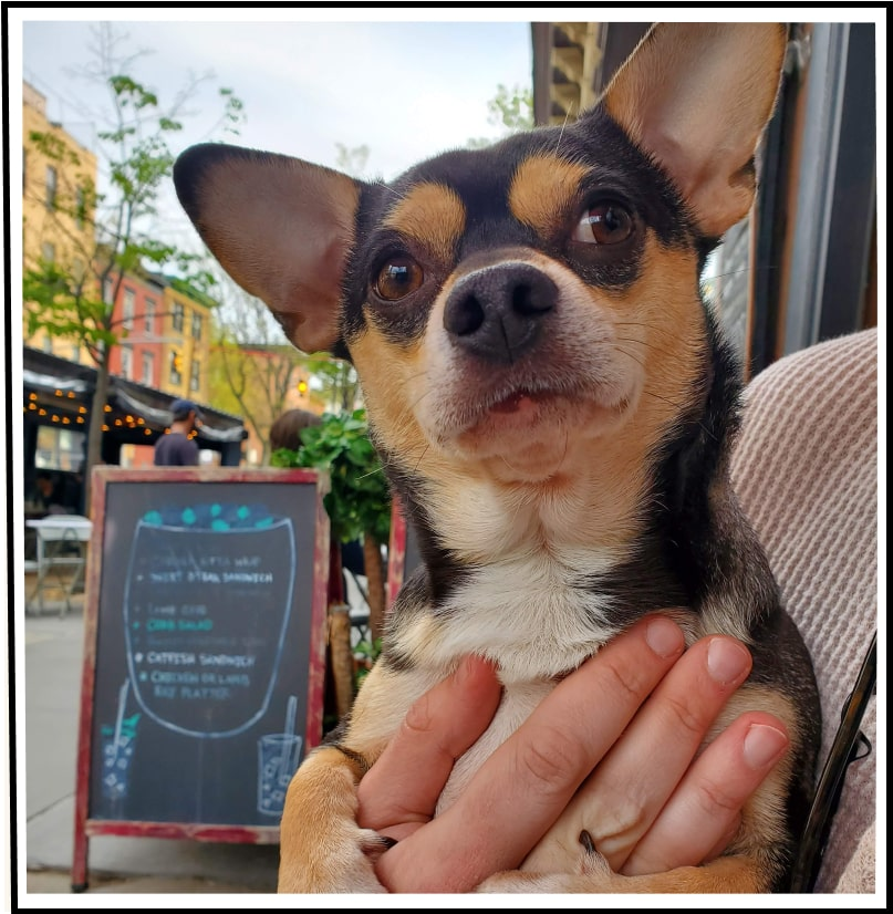 Reuben the Chihuahua mix out to eat and comfy in their owners arms
