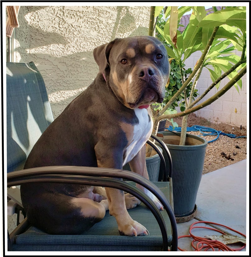 Wally the pitbull relaxing outside in a lawn chair.