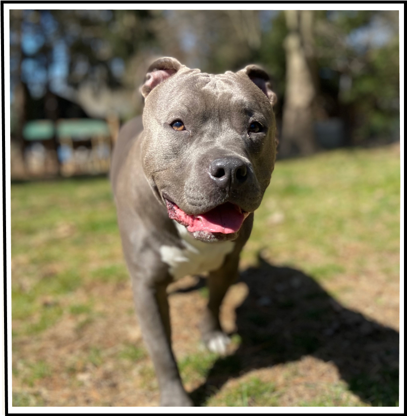 Greyson the pitbull walking towards the camera with a big smile