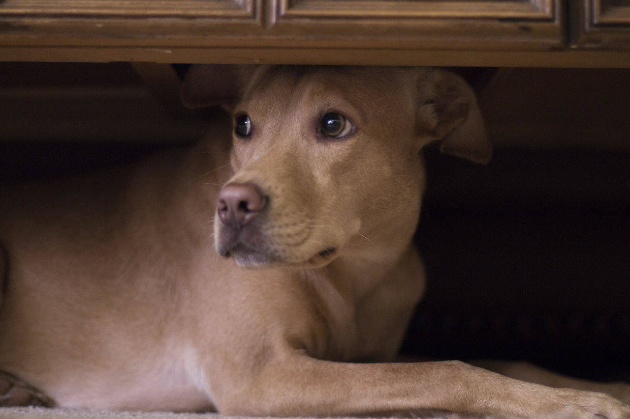 dog hiding under table from thunder