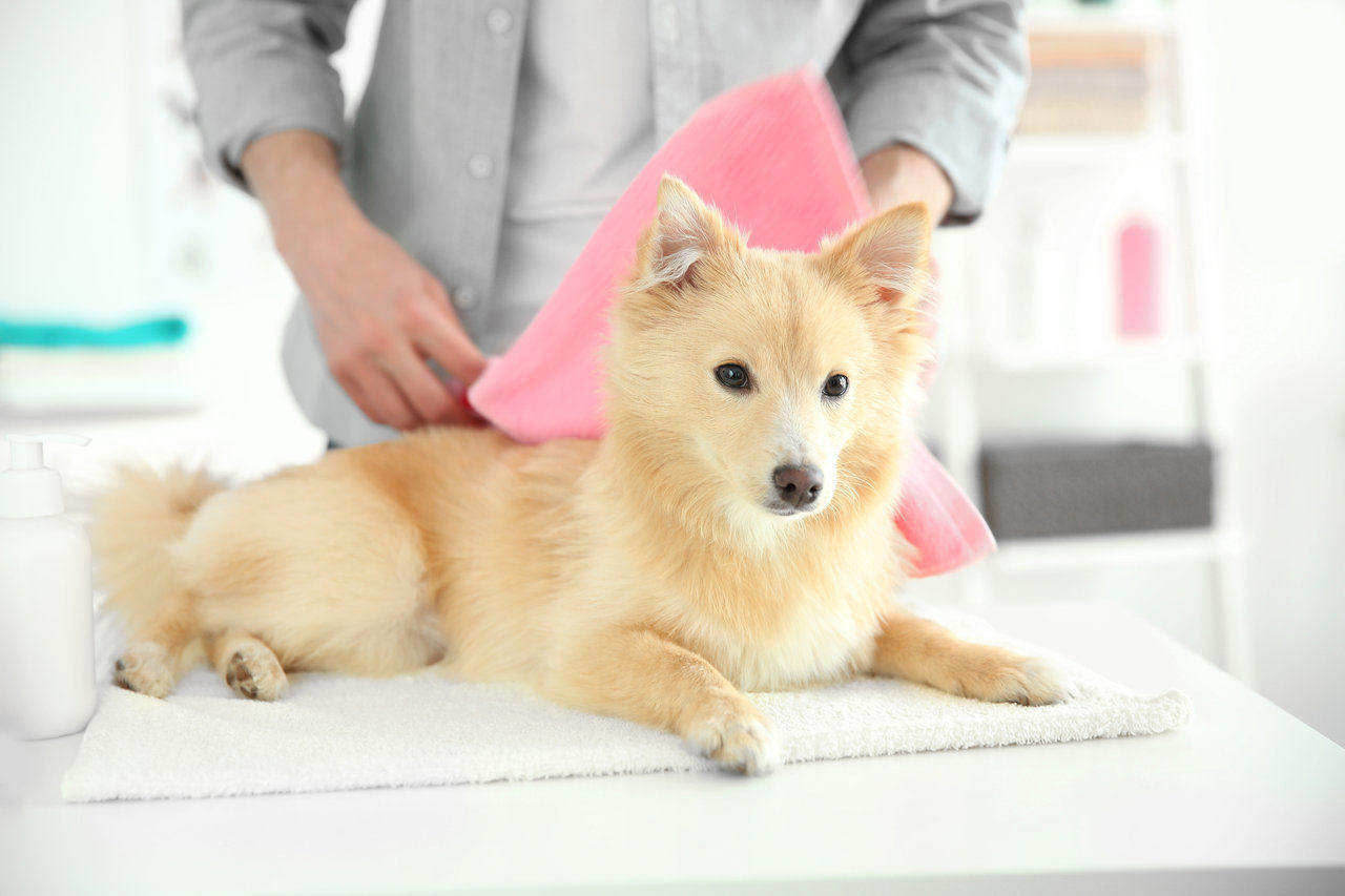 Dog at groomer getting dried off