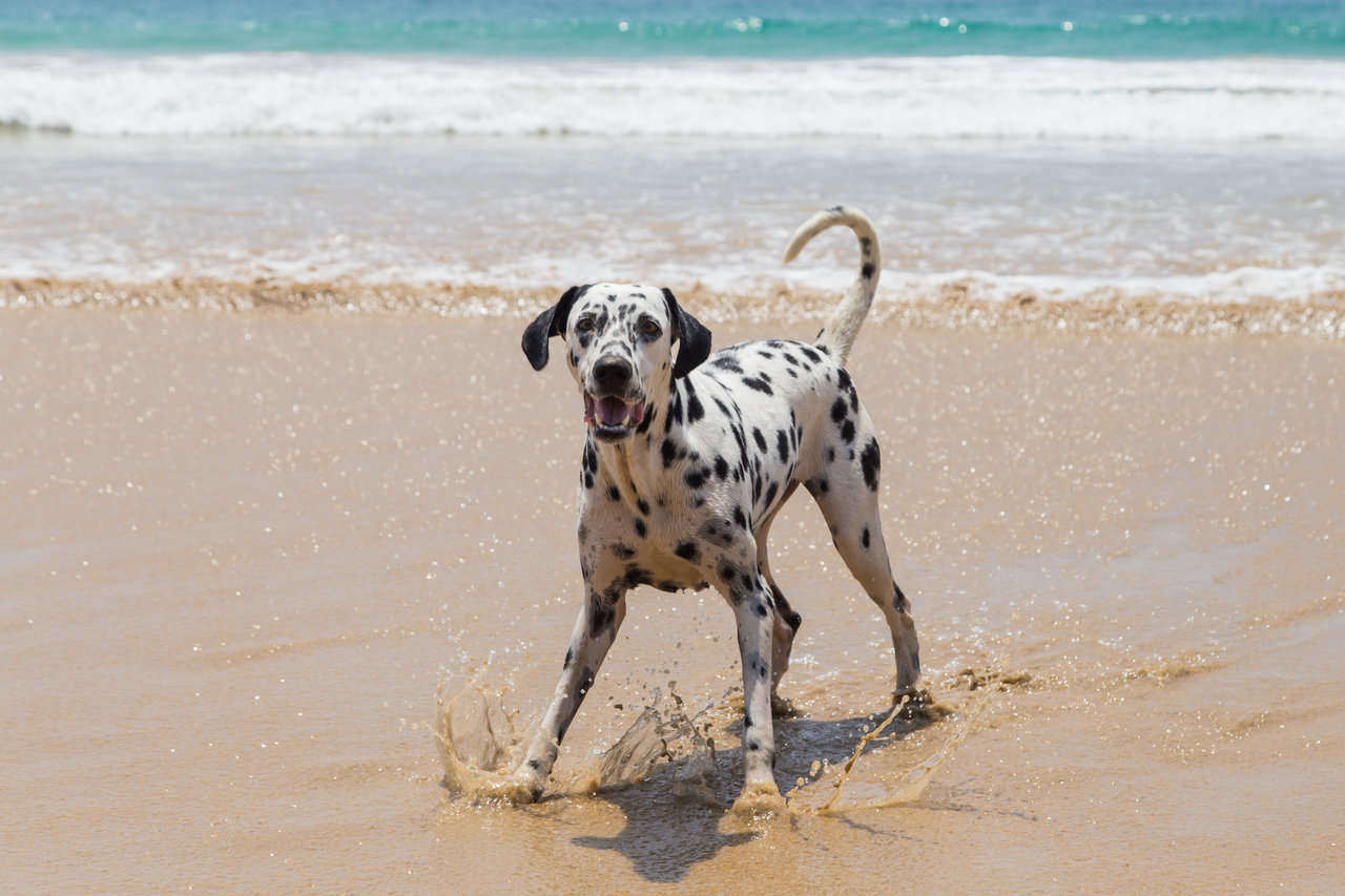 dalmation dog playing in ocean water