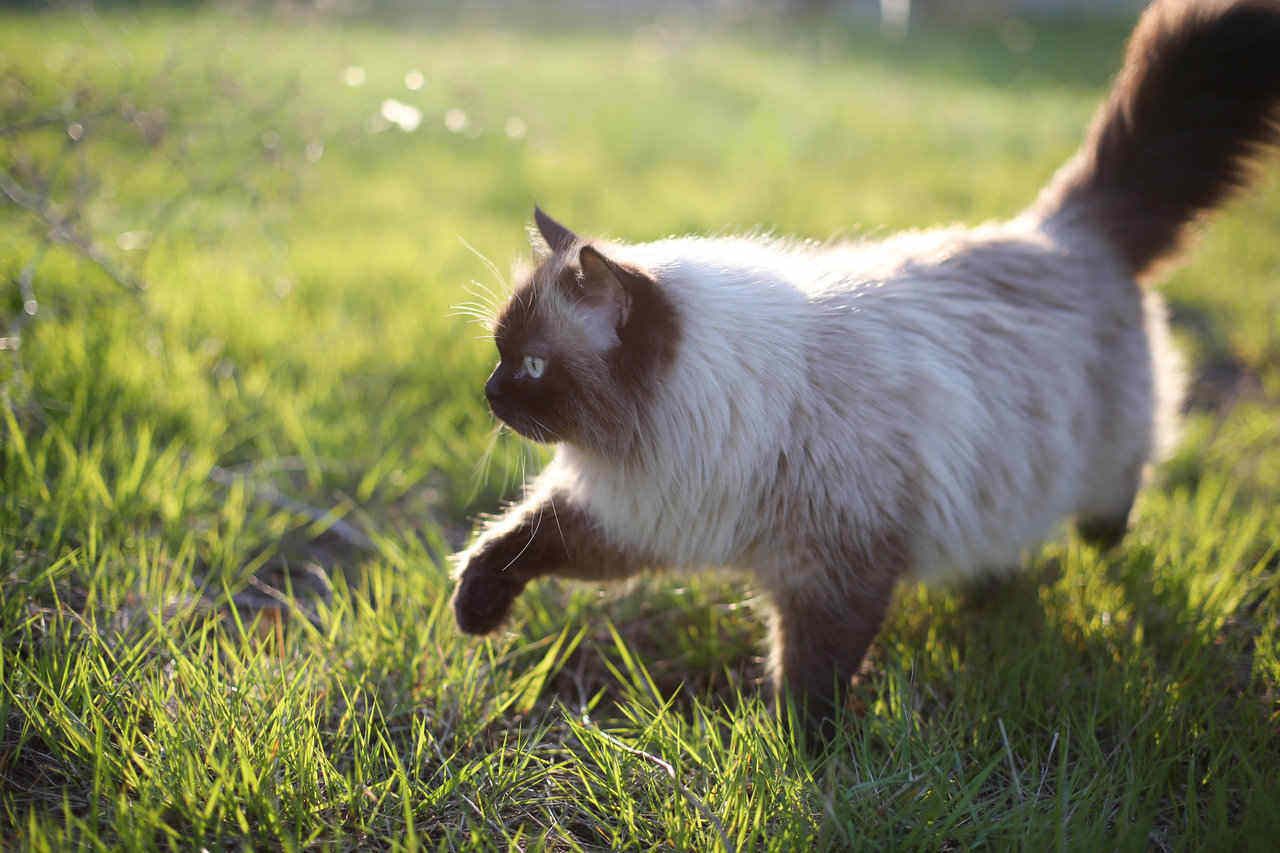 siamese cat in grass during summer