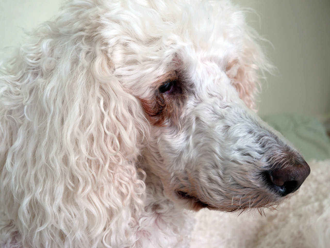 white dog with brown tear stains