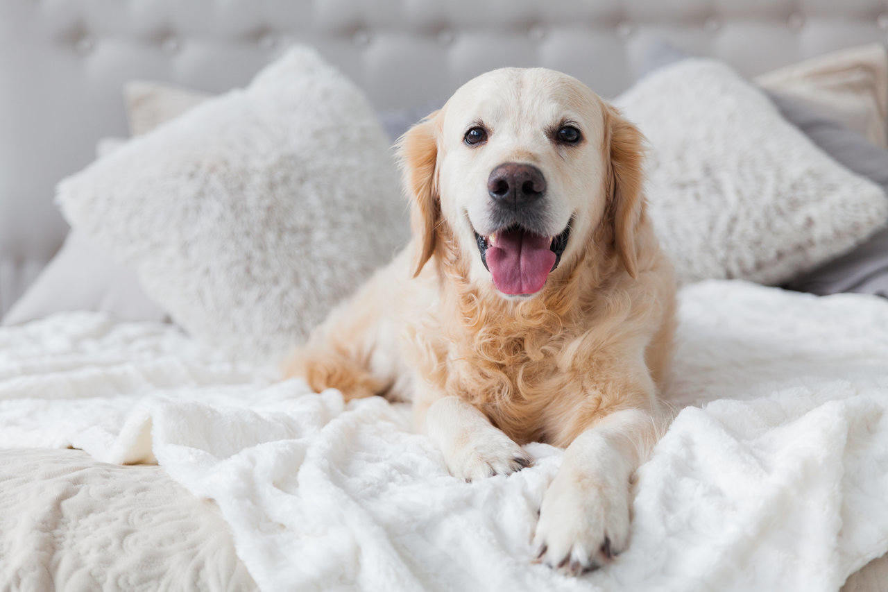 golden retriever laying in bed