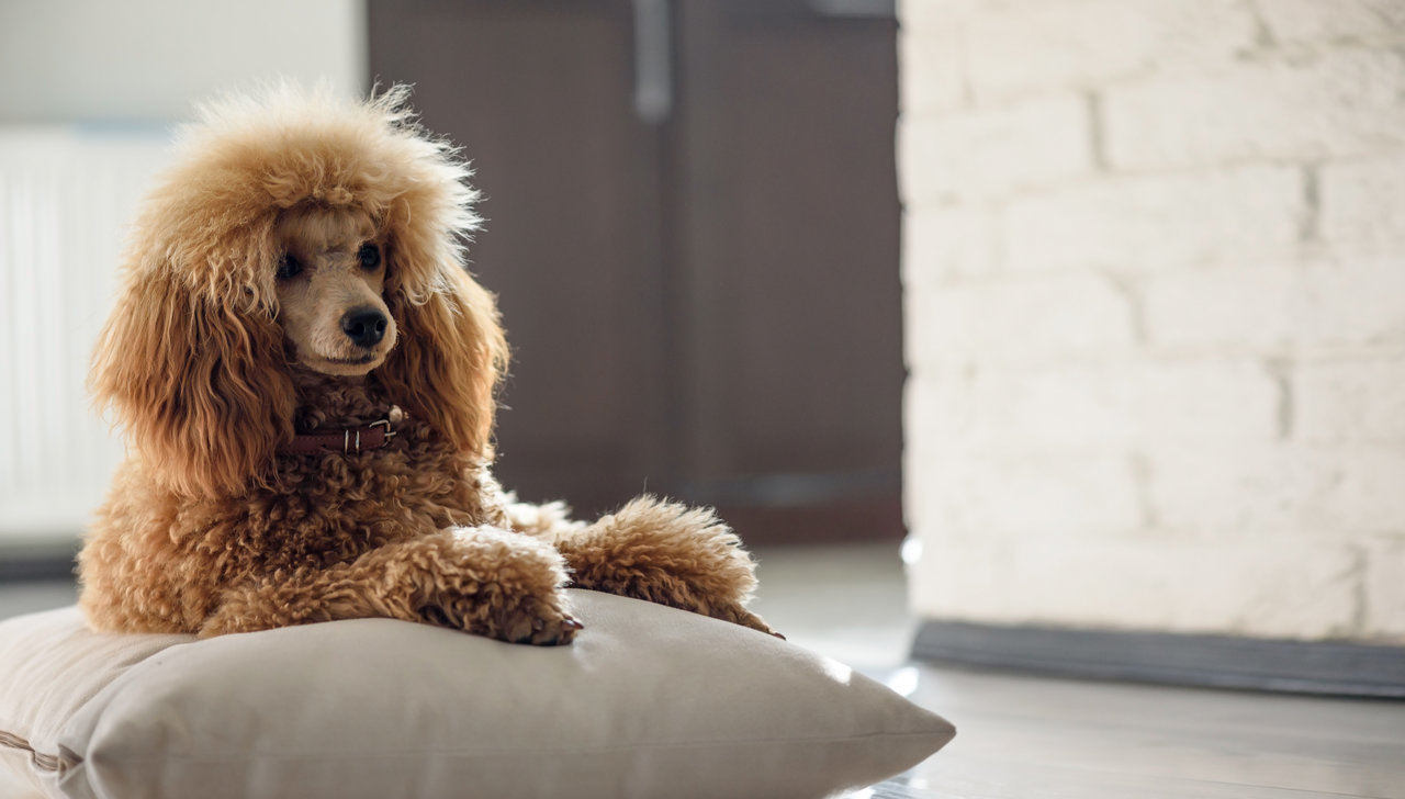 Poodle resting on pillow