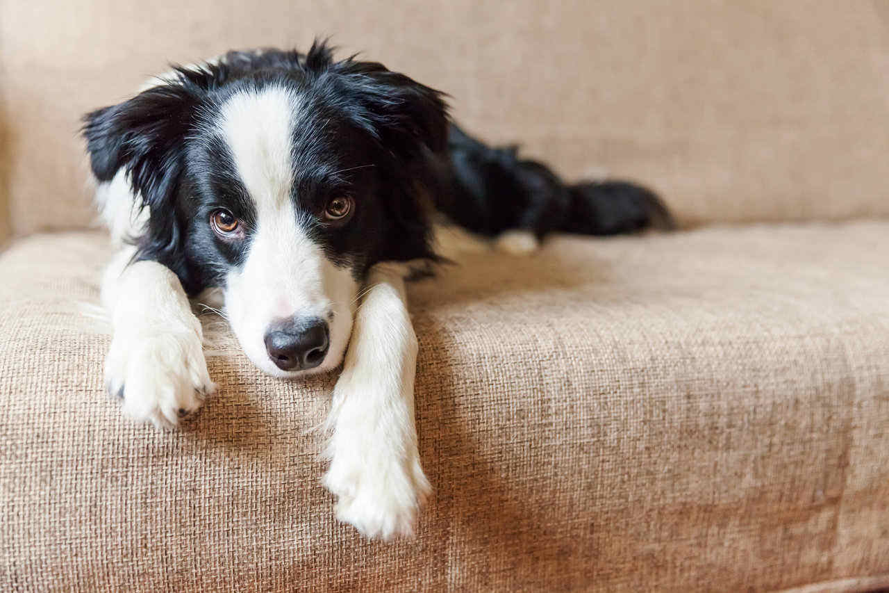 border collie laying on couch