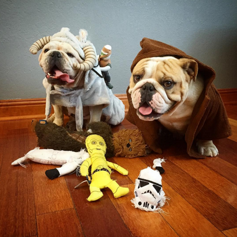 Kenobithebulldog dressed up like a character from Star Wars | Top 10 Star Wars dog names | Petplan