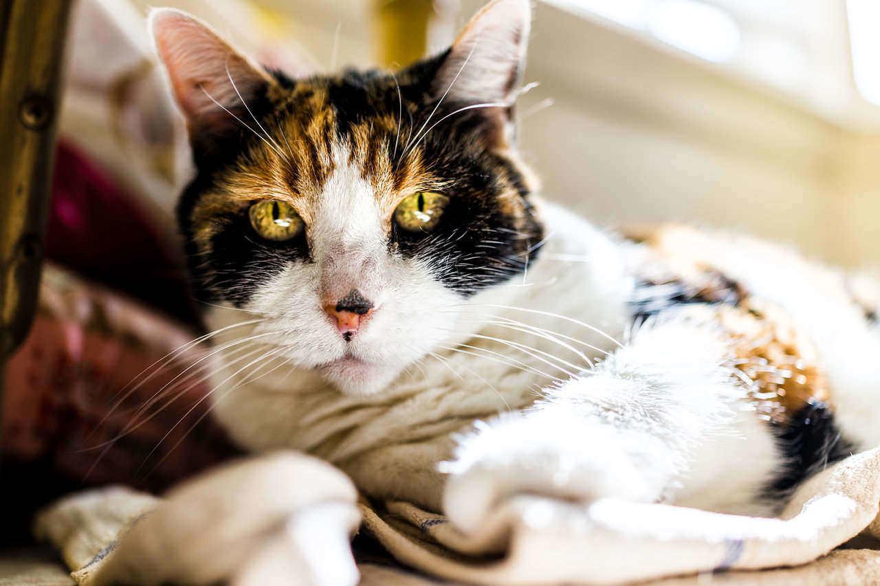 Closeup of calico cat