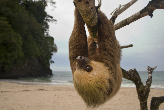 Sloth hanging from tree on beach