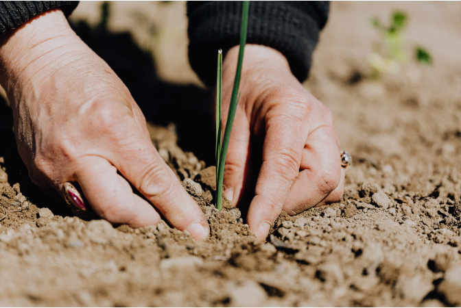 Womans hands planting a crop