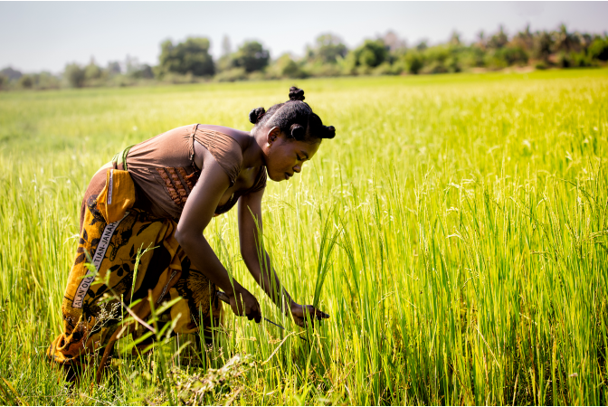 African woman harvesting grass with a sickle