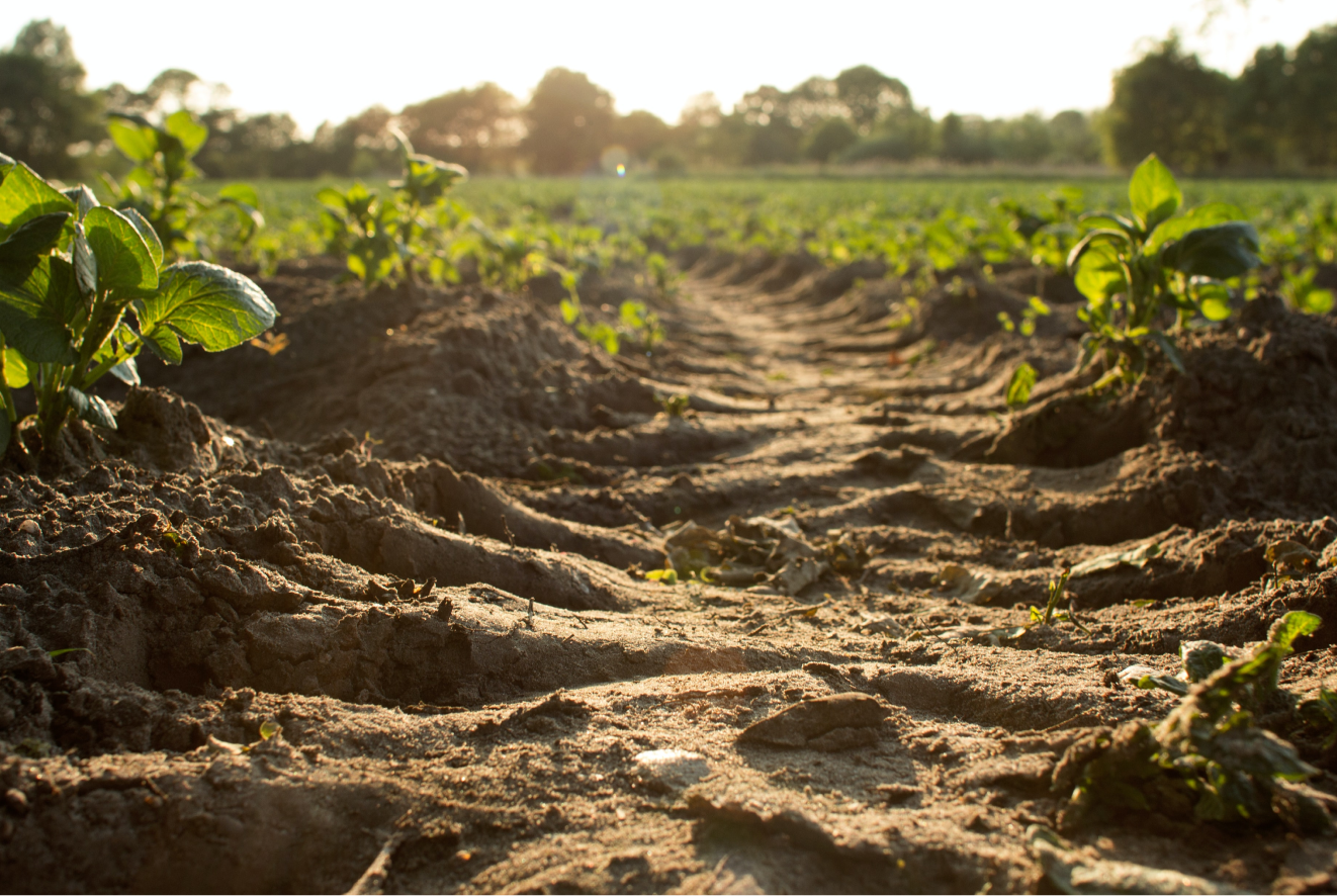 Furrows of crops growing in the sun