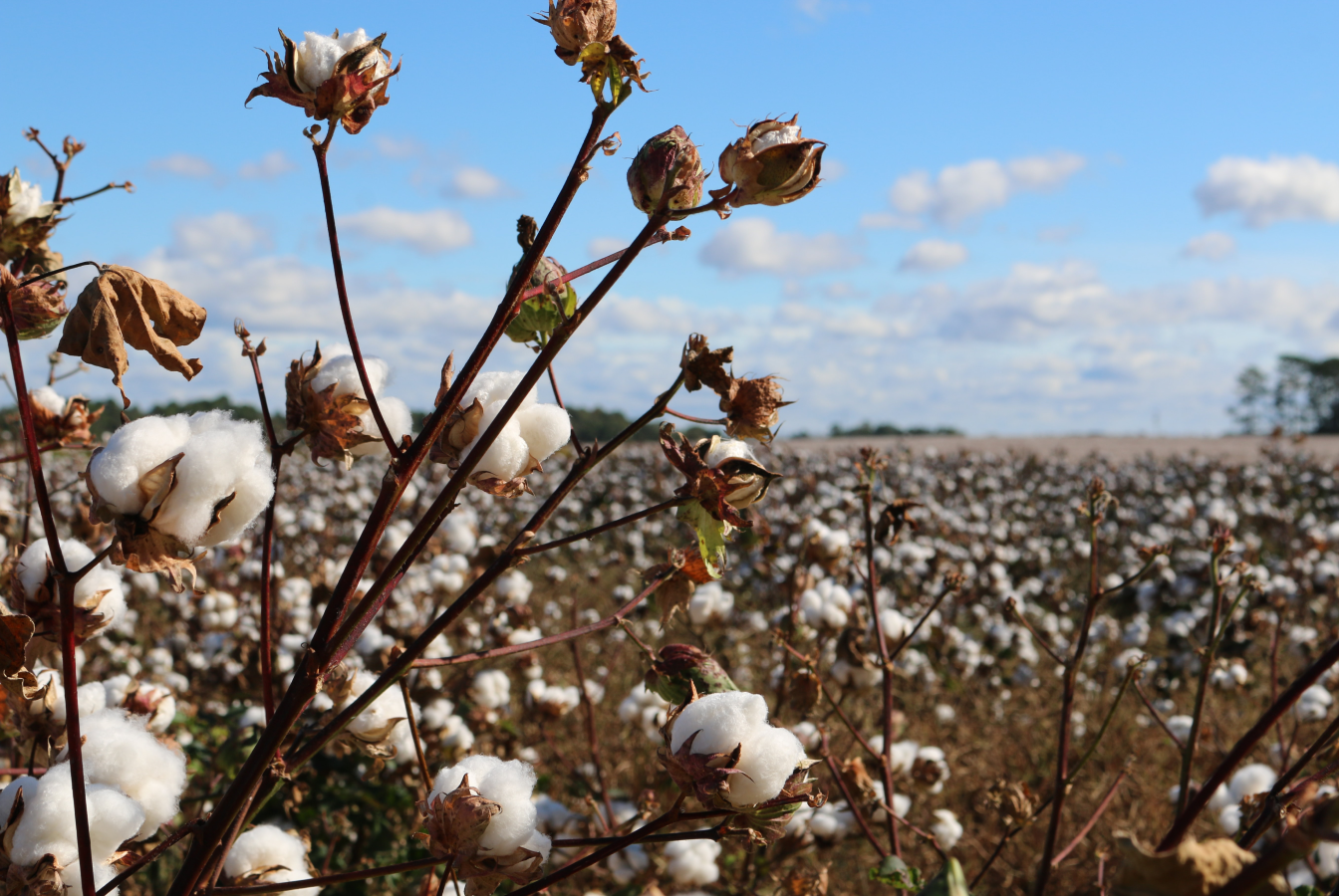 Field of cotton with boles ready to harvest