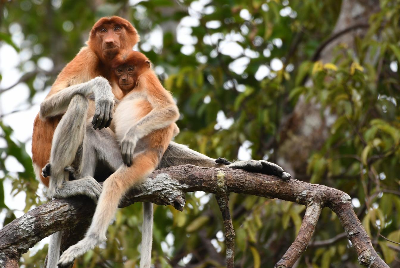 Proboscus monkeys snuggling in tree