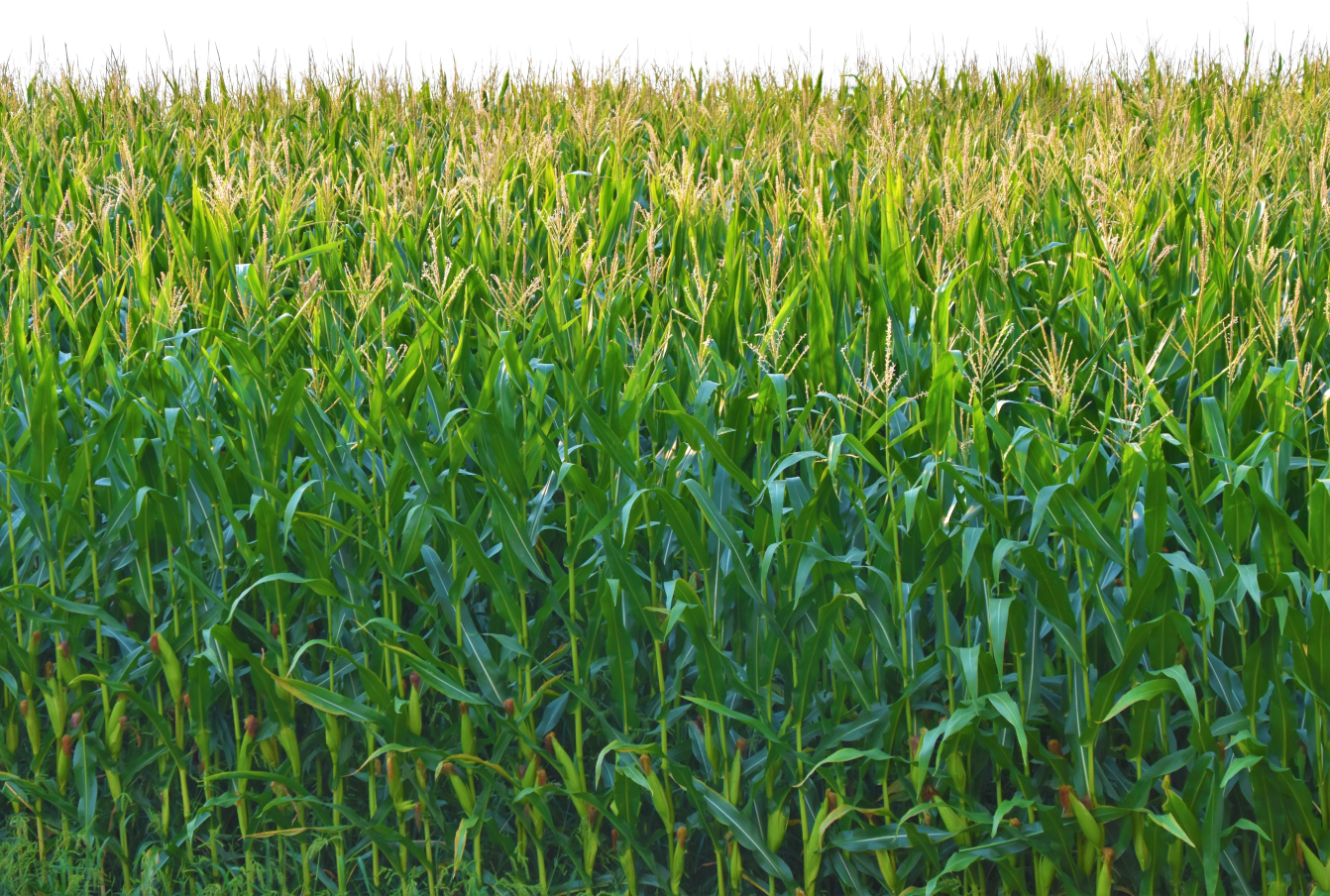 Field of corn used for the production of bioplastics