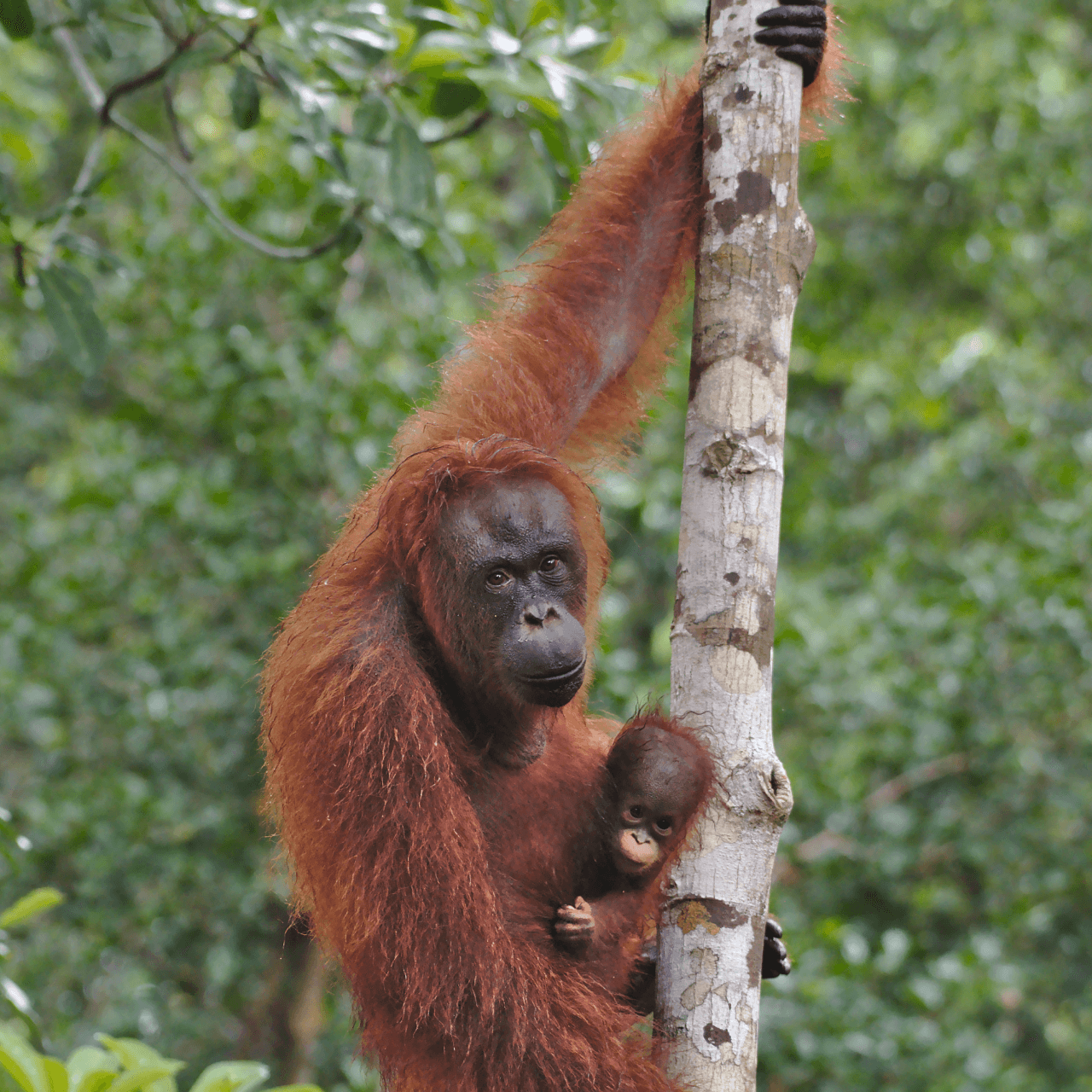 Rimba Raya: How Carbon Offsets Are Saving a Tropical Forest