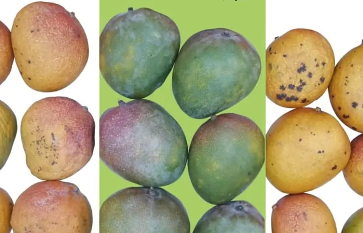 Apeel-Protected-Mangoes