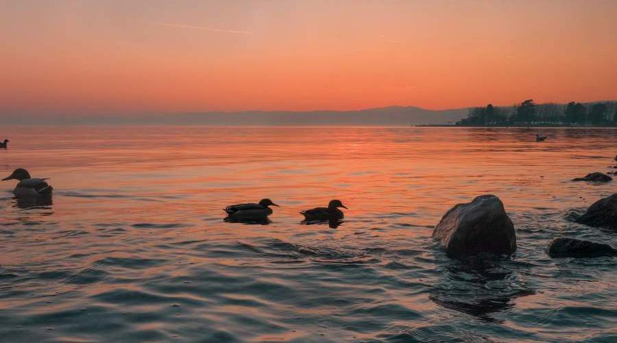 ducks in lake geneva