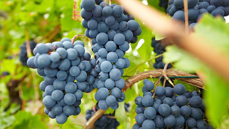 Pinot noir around the world