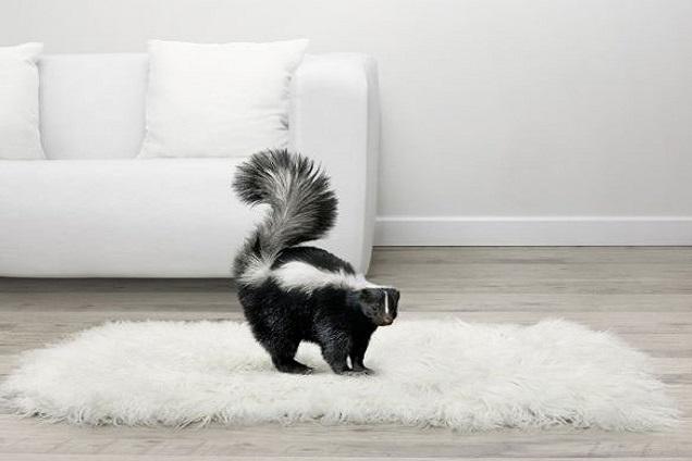skunk on carpet