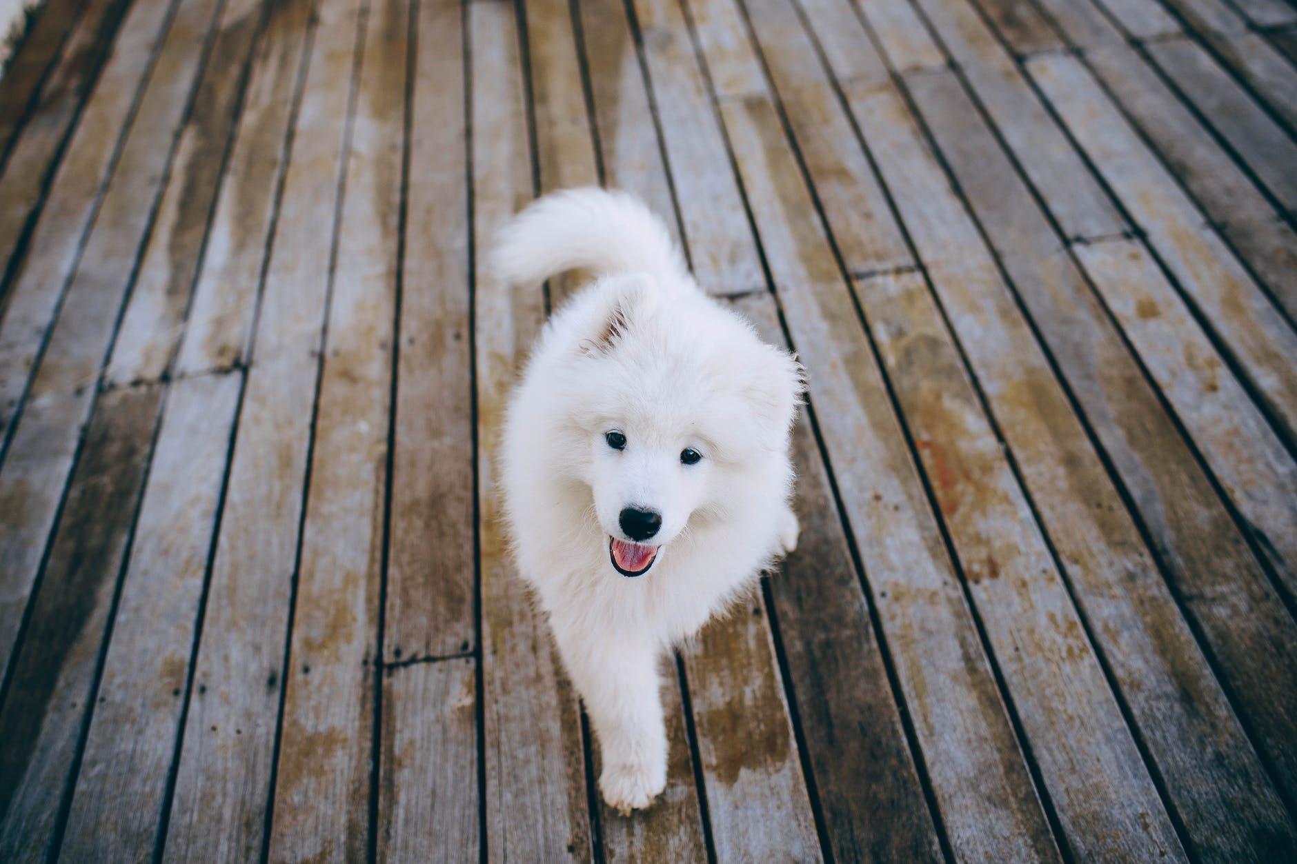 Smiling Samoyed dog on wooden flooring