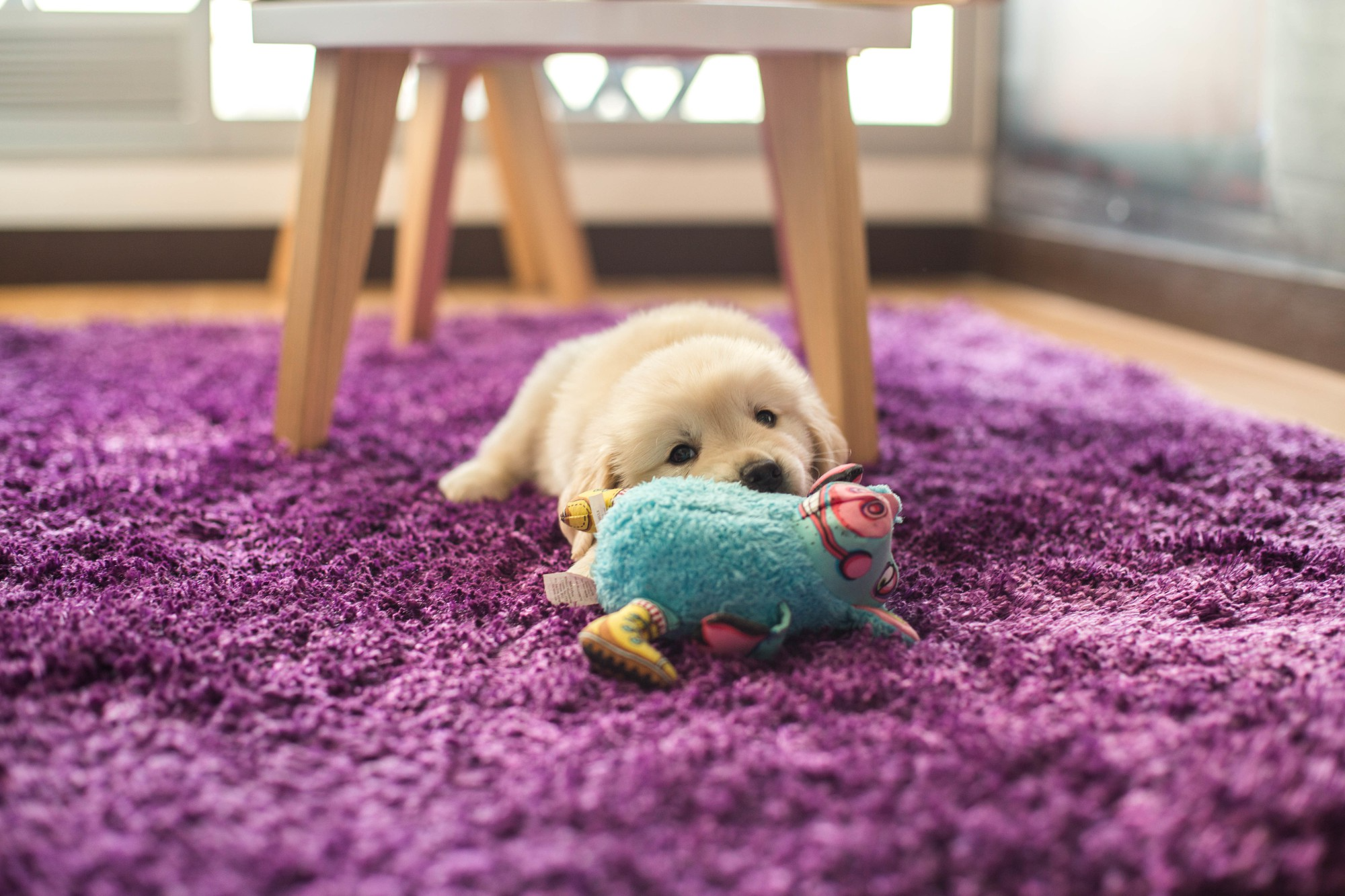 cute labrador with toy on rug