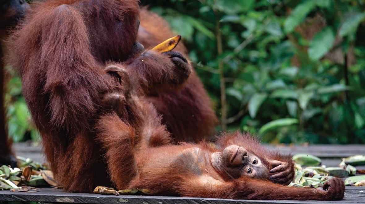 Semenggoh Wildlife Rehabilitation Center Orangutan