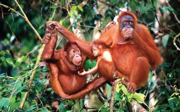 Orangutan Tour @ Semenggoh