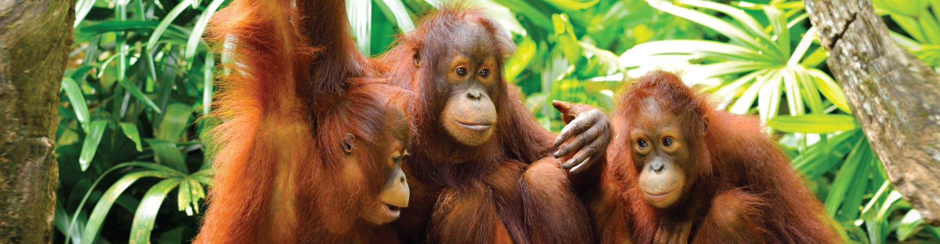 Orangutan & Kinabatangan River
