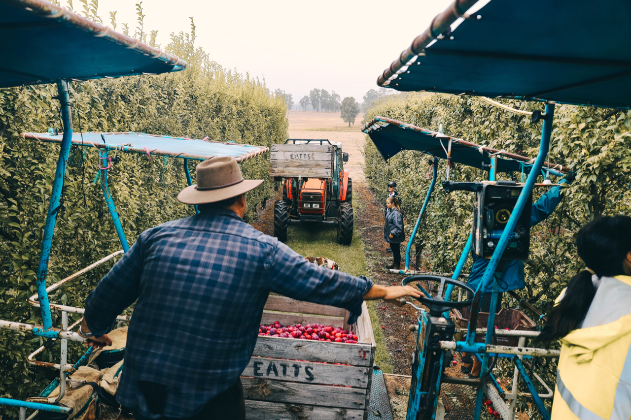 Harvesting plums at Morning Glory Farms, one of 30 participating local businesses, in Manjimup, WA.