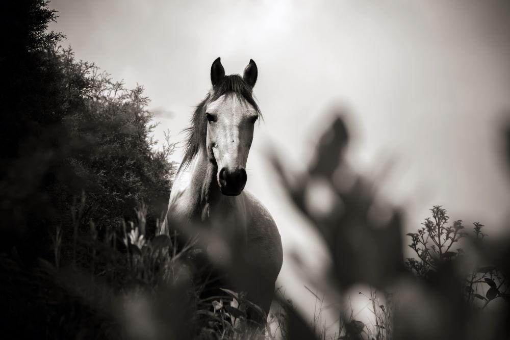 The White Horse of the Gospel