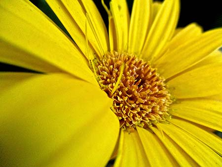 bright yellow daisy background
