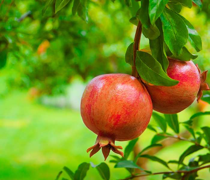 shiny pomegranates hanging on a tree