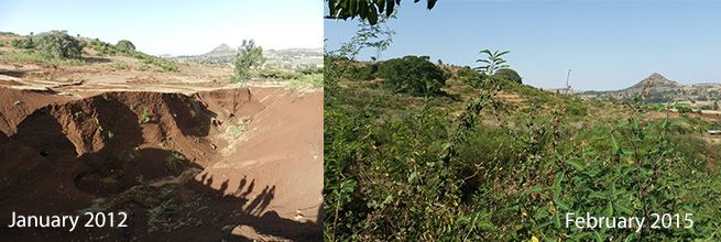 Figure 4 - before and after photos of gully stabilisation and re-vegetation at Debre Yakob (Gete Zeleke)