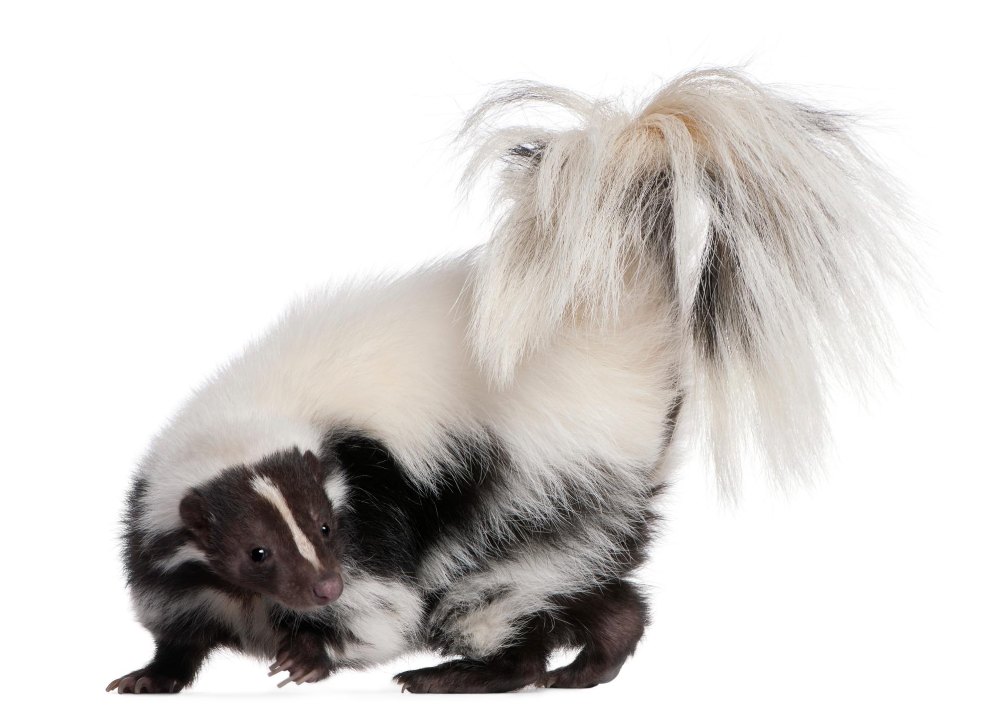 Skunk on white background