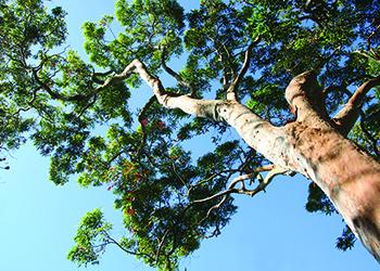 Gum tree canopy