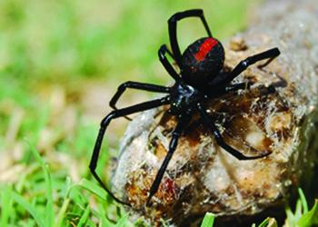Redback spider Protector Pest Control