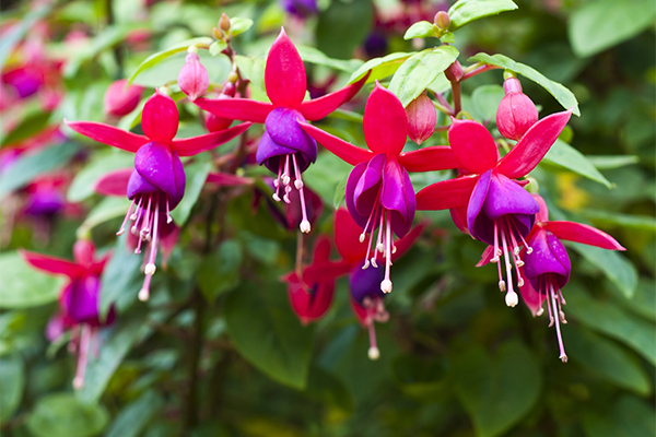 Pink and purple fuchsias