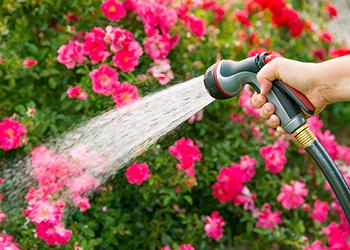 hand watering pink flowers in garden bed
