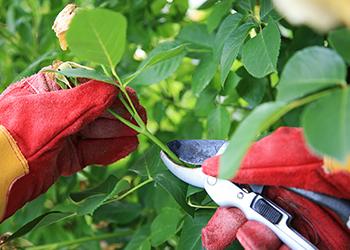 Rose bush being pruned