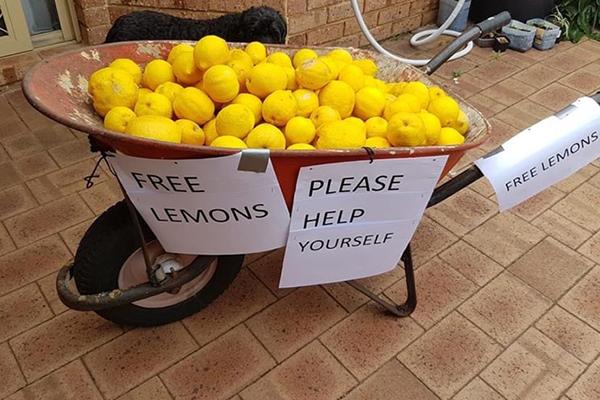 Wheelbarrow full of lemons