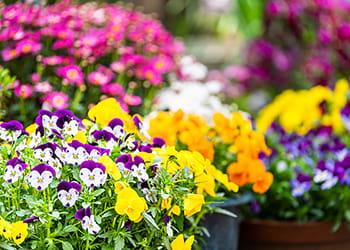Pots of pansies in full bloom