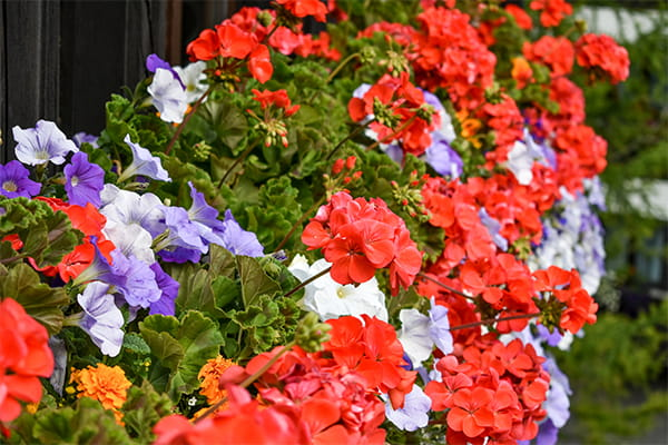 Garden bed full of colourful red pelargonium flowers