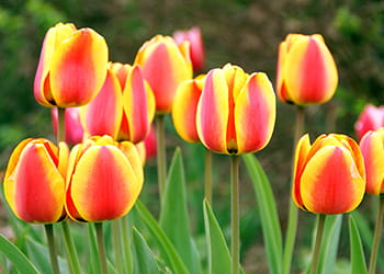 Red and yellow tulips growing in a garden