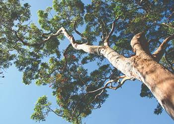 Huge gum tree canopy