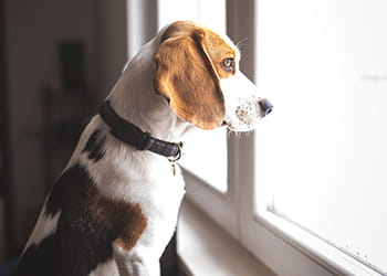 Dog staring out of a window