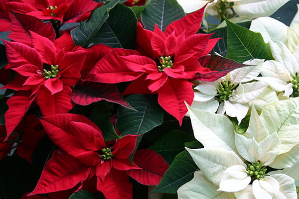 Poinsettias are not just for Christmas!